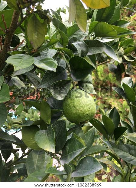 ripe lemon on a branch