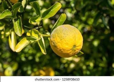 A ripe lemon at the lemon plant.