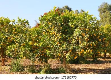 Ripe lemon tree on citron plantation