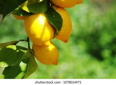 Ripe Lemons hanging on a lemon tree, green background