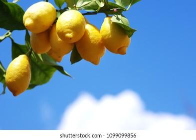 ripe lemons on a lemon tree branch in blue sky