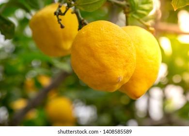 Ripe Lemons on a lemon tree during the sunny day at the organic farm household