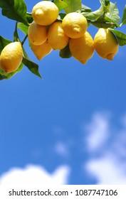 ripe lemons on tree against blue sky