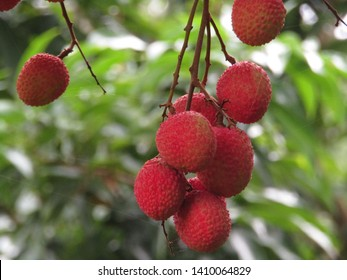 Ripe litchis are hanging in a litchi tree