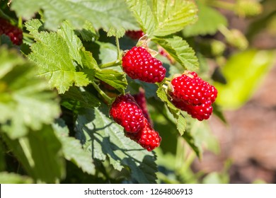ripe loganberries on growing on loganberry bush with copy space