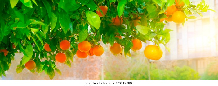 ripe mandarin tree branch on a city background. Long wide banner
