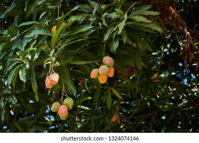 Ripe mangoes on tree. Bunch of fresh mangoes hanging from tree.