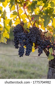 Ripe Merlot grapes lit by warm late sunshine in Montagne vineyard near Saint Emilion, Gironde, Aquitaine. France