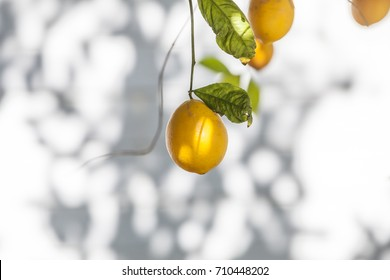 ripe meyer lemons hanging from a tree with bright green leaves. Shallow depth of field with soft, warm light.