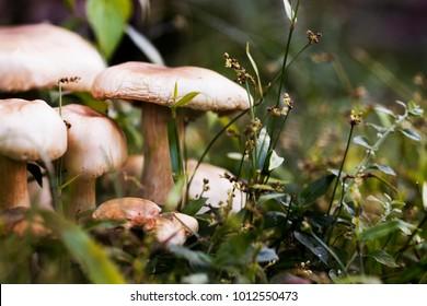 Ripe mushroom in green grass vintage toned photo. Summer forest scene. White edible mushroom macrophoto. Green leaf and white mushrooms. Natural mushroom growing. Ecotourism activity. Pick up mushroom
