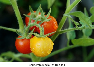 Ripe natural mini tomatoes growing on a branch.