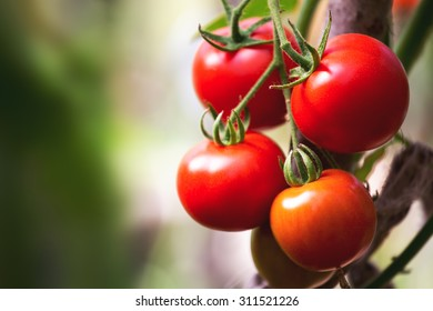 Ripe natural tomatoes growing on a branch in a greenhouse. Copy space