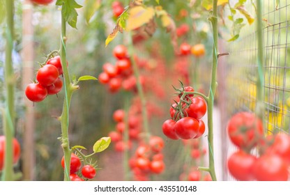 Ripe natural tomatoes growing on a branch. Shallow depth of field