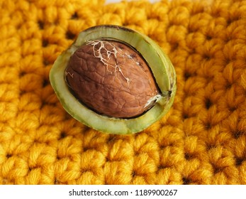 Ripe nut with an open green shell on the yellow background. A clear walnut from a walnut tree