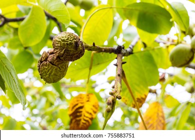 Walnut Tree Images, Stock Photos & Vectors | Shutterstock