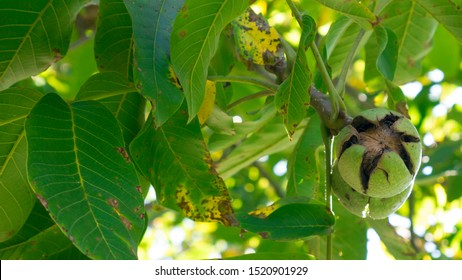 Ripe nuts of a Walnut tree.  Green unripe walnuts hang on a branch. Green leaves and unripe walnut. Fruits of a walnut.