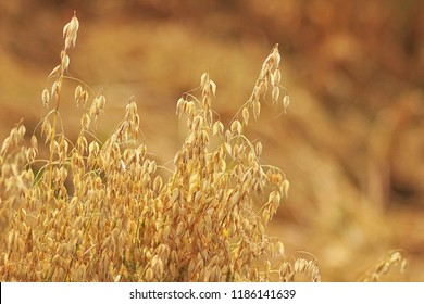 Ripe oats in the field