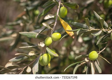 Ripe olives on a branch