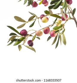 ripe olives on a branch with green leaves isolated on white background