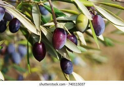 ripe olives on the branch of olive tree