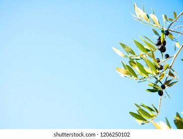 Ripe olives on olive trees, blue sky in background