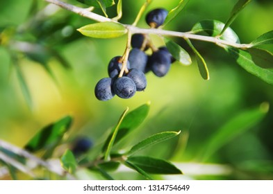 ripe olives on tree branch, green background