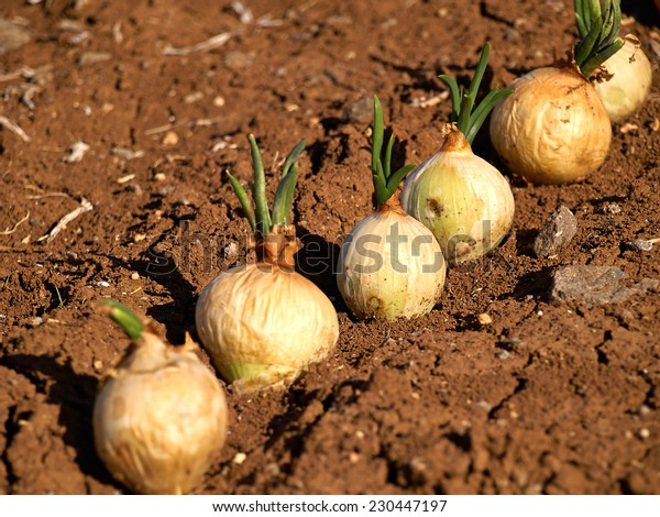 Ripe onions field agricultural landscape