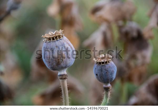 Ripe Opium Poppy Seed Heads Papaver Stock Photo Edit Now 1459670021