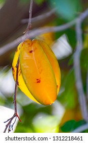 Ripe orange averrhoa carambola or star fruits growing on tree in tropical climate, ready for harvest close up