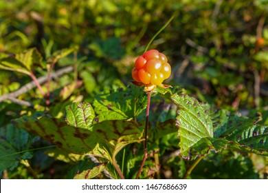 A ripe orange cloudberry fruit. Season: Summer. Location: Western Siberian taiga.
