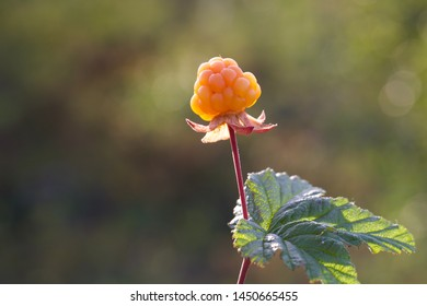 A ripe orange cloudberry (Rubus chamaemorus) fruit. Season: Summer. Location: Western Siberian taiga.