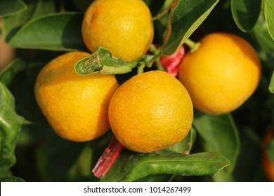 Ripe orange fruit hangs on the tree