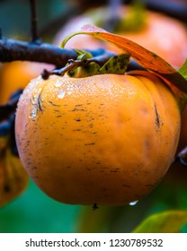 Ripe orange Persimmon fruit in the autumn garden. Kaki plum tree, Japanese persimmon, Diospyros kaki Lycopersicum.