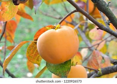 Ripe orange persimmon, growing on a tree