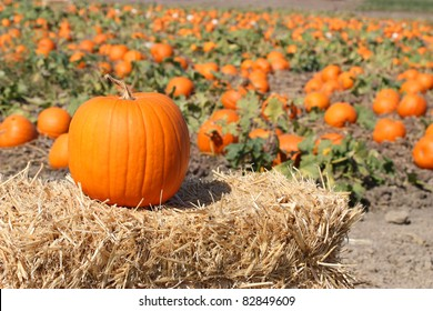 Ripe orange pumpkins on farm ground