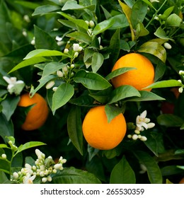 Ripe oranges hanging on a blossoming orange tree