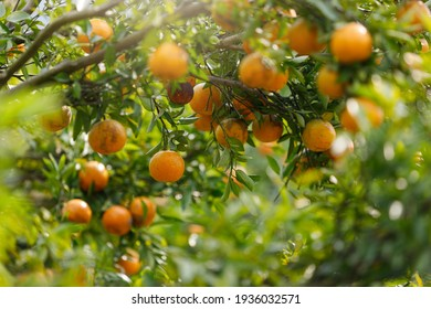Ripe oranges hanging on branch at tangerine garden