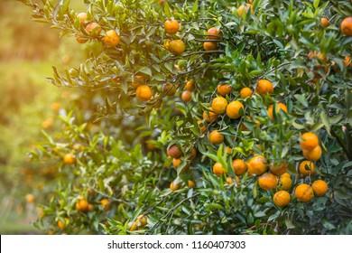 Ripe oranges hanging orange trees in orange grove, Vitamin C orange plant, artificial light, selective focus, copy space