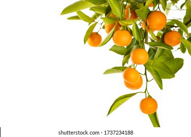 Ripe Oranges hanging from a small orange tree on white background