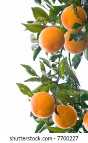 Ripe oranges on a branch in Sorrento, Italy. Isolated on white background