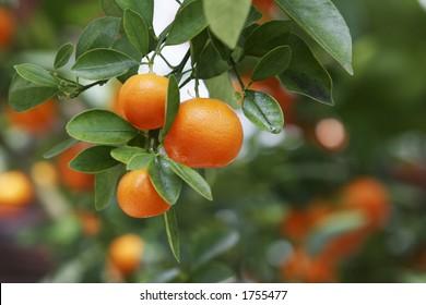 Ripe oranges on tree.