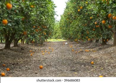 Ripe oranges on the trees in an orchard, harvest time. Erez, Israel Gaza border, March 2016. Orange garden, orange tree, orange farm, fruit garden, orange field, citrus, citrus garden, perspective