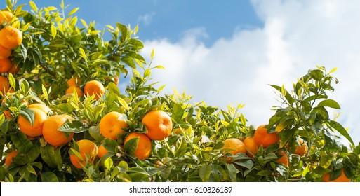 Ripe oranges at orange tree