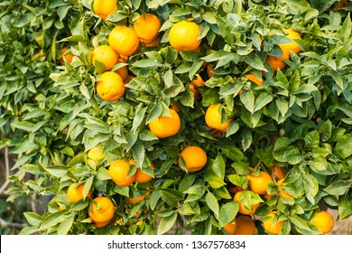 Ripe oranges ready to be harvested