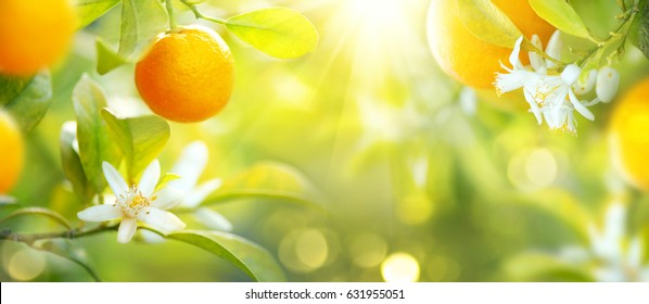 Ripe oranges or tangerines hanging on a tree. Beautiful Healthy organic juicy orange growing in Sunny Orchard. Organic citrus fruits