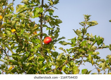 ripe organic apples with small imperfections hang on the branch of an apple tree