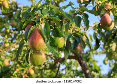 Ripe organic cultivar pears in the summer garden.