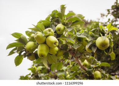 Ripe organic green apples on the tree
