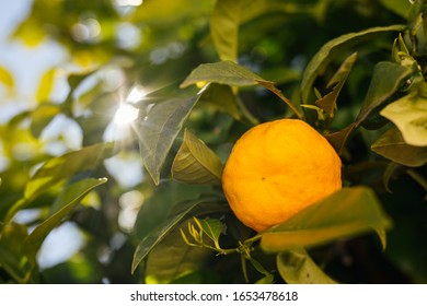 ripe organic orange fruit hanging on a tree in southern Spain (Costa Cálida) at sunset