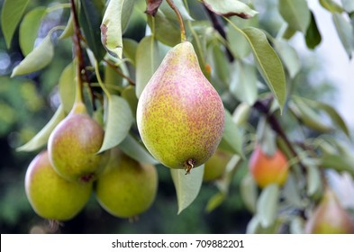 Ripe organic pears in the garden on a branch of pear tree.Juicy flavorful pears of nature background.Summer fruits.Autumn harvest season.